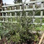 Corokia x virgata 'County Park Lemon'